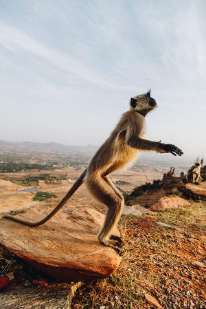 Animal Themes Animal Wildlife Animals In The Wild Day Full Length Gray Langur India Mammal Monkey Nature No People Outdoors Pushkar Puskas Sky
