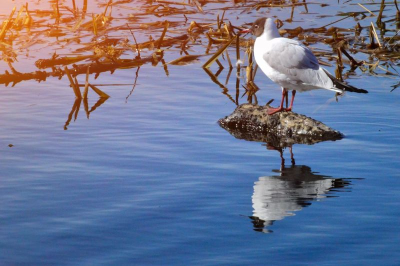 MAS Skrattmås Blackheaded Gull Gull Bird Animal Themes Animal Water Animals In The Wild Vertebrate Animal Wildlife Reflection One Animal No People Nature Waterfront Day White Color Full Length Beauty In Nature My Best Photo Springtime Decadence
