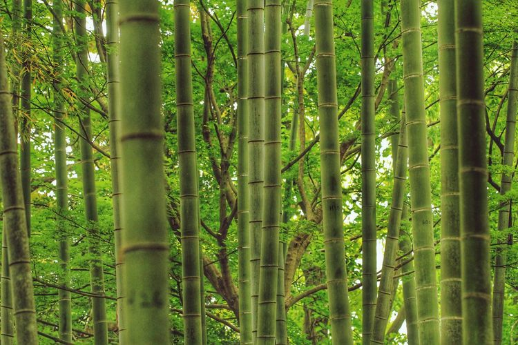 Bamboo - Plant Tree Bamboo Grove Forest Full Frame Close-up Green Color Bamboo Lush Foliage Greenery Woods Lush