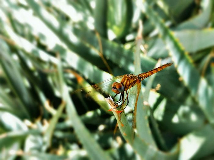 Hey baby Dragonfly Animal LibellulaAnimal Themes Nature Green Yusuçuk Yellow Libélula Sobre Hoja De Espada EyeEm Nature Lover Beauty In Nature Insect Plant Original Experiences From My Point Of View Fell The Journey Summer ☀ 43 Golden Moments Macro