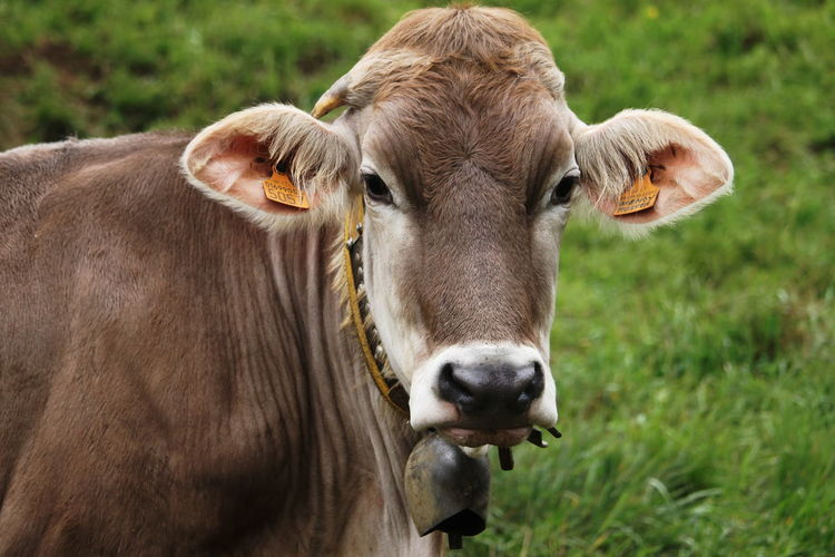Close-up of cow