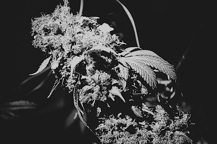 Plant MMJ PHOTOGRAPHY Mmjpatient Weed California Downtown SantaAna Orangecounty  Indaca Good Morning
