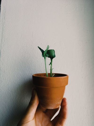Midsection of person holding small potted plant against wall