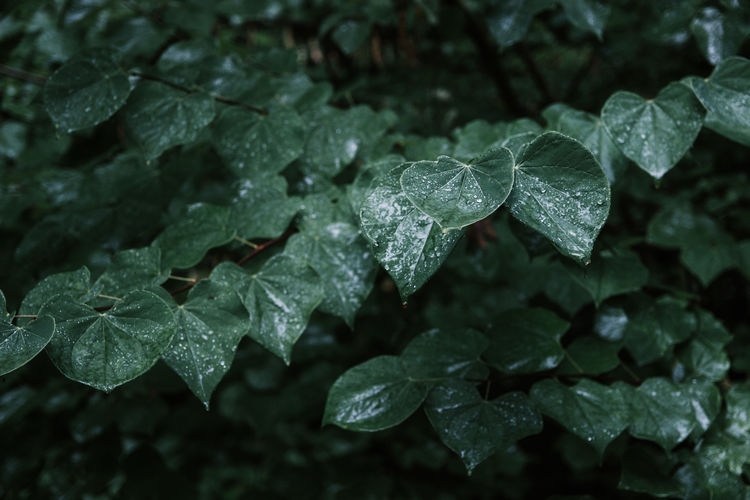 Close-up of raindrops on leaves during rainy season