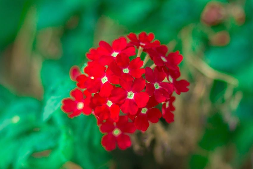 Growth Flower Beauty In Nature Red Petal Nature Focus On Foreground Flower Head Fragility Freshness Plant Blooming Ixora Day Close-up Outdoors No People Zinnia