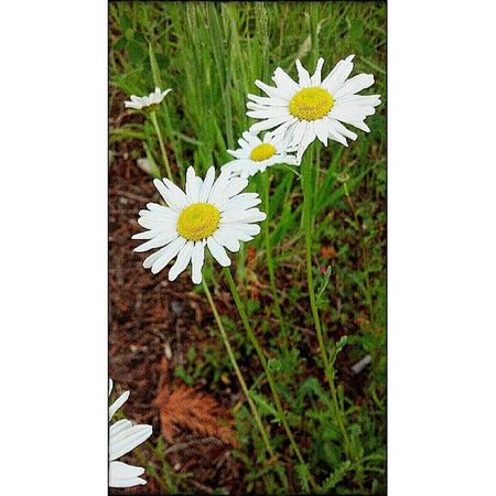 Daisys Flowers Pixlromatic Picoftheday Pictureoftheday Walking Nature Portorchardwashington DroidRazr