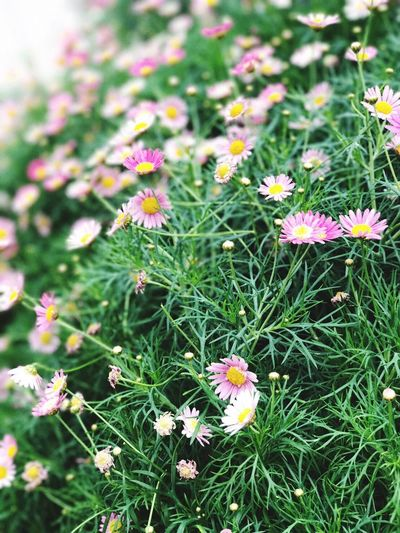 Pink flower 🌸🌸🌸 Flower Growth Nature Fragility Beauty In Nature Plant Freshness Petal Green Color Blooming Flower Head Outdoors No People Day Field Park - Man Made Space Grass Zinnia  Close-up