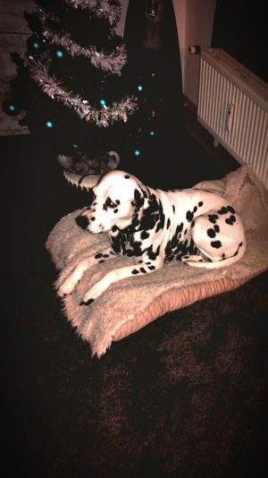 Christmas time Dalmatian Dog I Love My Dog❤ RELAXTIME❤️ High Angle View No People Indoors  Close-up Day