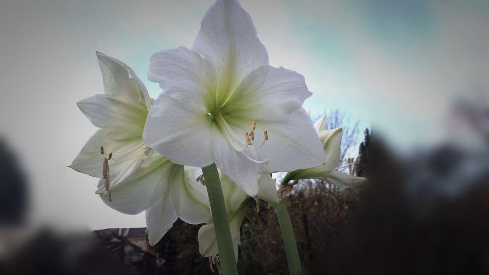 White Flower Blumen Lens Blur