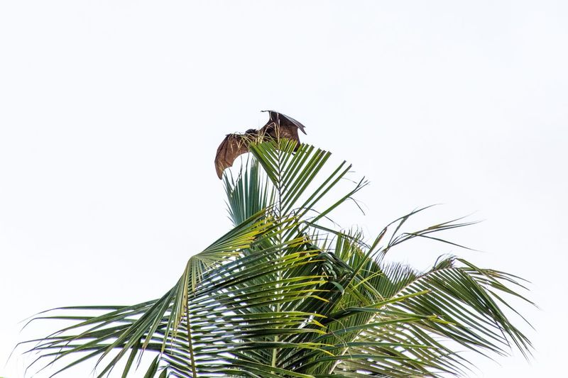 Palm Leaf Flying Fox Plant Sky Animals In The Wild Animal Wildlife Animal Themes Clear Sky Low Angle View One Animal Nature Tree Animal No People White Background Bird Beauty In Nature