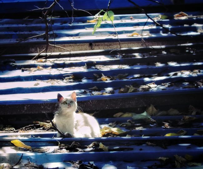 Alone Animals In The Wild Life Seeing The Sights Animal Animal Themes Cage Cat Cat Lovers Cats Cat♡ Cute Domestic Animals Lifestyles Looking At Camera Lovely Mammal One Animal Outdoors Pets Portrait Watching Watching Up White Cat White Color