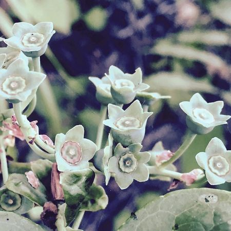 Blueberry Nature Countryside Garden IPhoneography Japan ブルーベリー 自然 里山 田舎暮らし 庭