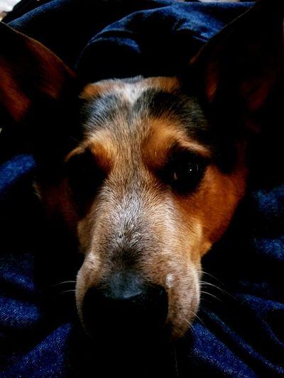 Cuddle Me Blue Heeler Don't Leave Me Dog Blue Brown Grey Best Friend