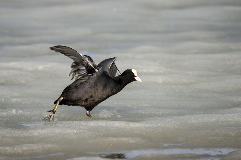 Bird flying over lake during winter