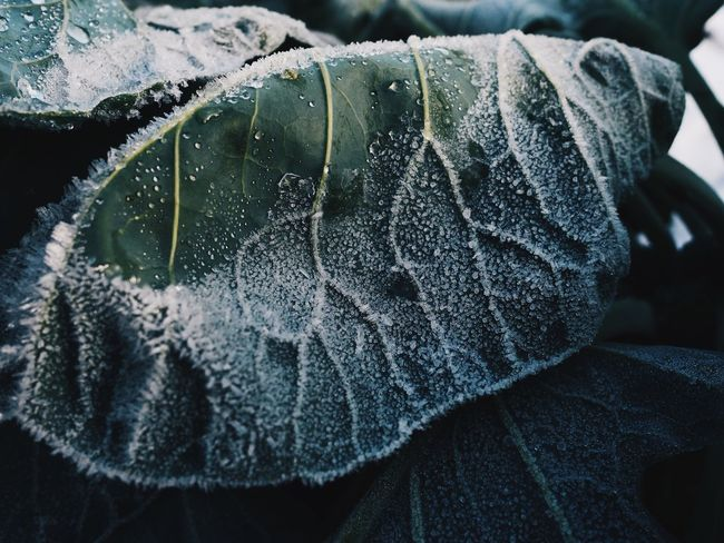 Close-up Water No People Day Outdoors Nature Veins In Leaves Veins Frozen Cold Ice Background Wall Art Freshness Growth Plant Fine Art Photography Beauty In Nature Wallpaper Full Frame Winter Leaf Cold Temperature Snow Coldweather