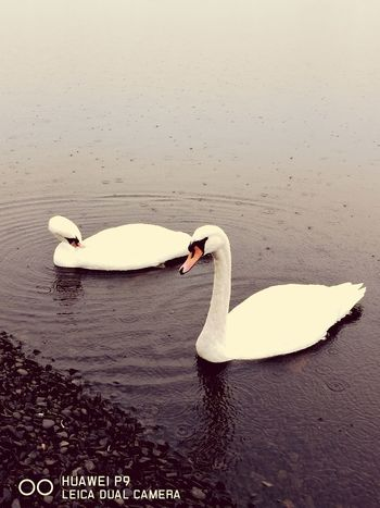 Swan White Color Lake Bird Animals In The Wild Swimming Water No People Nature Day Close-up Outdoors