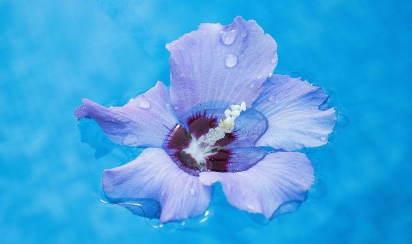 Close-up of purple flower on blue water