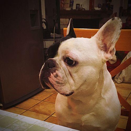 Frenchbulldog Vito Bestdog