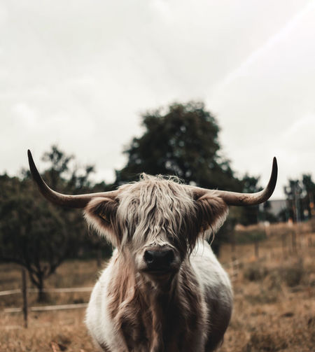 Portrait of cow on field