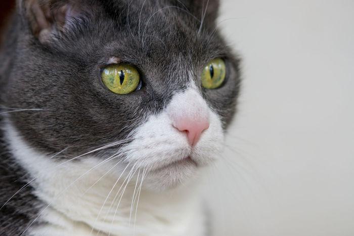 Close-up Pets Pet Portraits Cats Of EyeEm Sony A6000 EyeEm Selects Pets Portrait Yellow Eyes Feline Domestic Cat Looking At Camera Whisker Alertness Animal Hair Animal Eye Green Eyes Iris - Eye