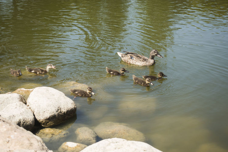 Family Mother Nature Animal Animal Family Animal Themes Animal Wildlife Animals In The Wild Bird Day Duck Ducks Group Of Animals High Angle View Lake Nature No People Rock Rock - Object Solid Swimming Vertebrate Water Young Animal Young Bird
