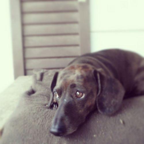 Oh, Sasha! Weeniedog Longdog Dachshund Dogsofinstagram pout poundpuppy
