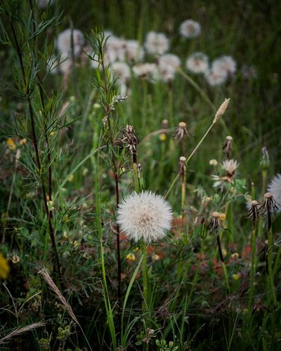 Dandelion Flower Nature Grass No People Plant Photo Beauty In Nature