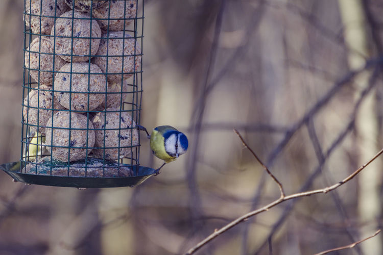 Bluetit is guarding the feeder Animal Animal Themes Animal Wildlife Animals In The Wild Bare Tree Bird Bird Feeder Branch Close-up Day Focus On Foreground Metal Nature No People One Animal Outdoors Plant Selective Focus Tree Vertebrate