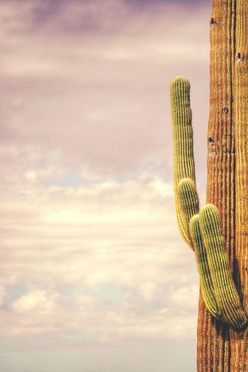 Low Angle View Of Saguaro Cactus Against Sky During Sunset