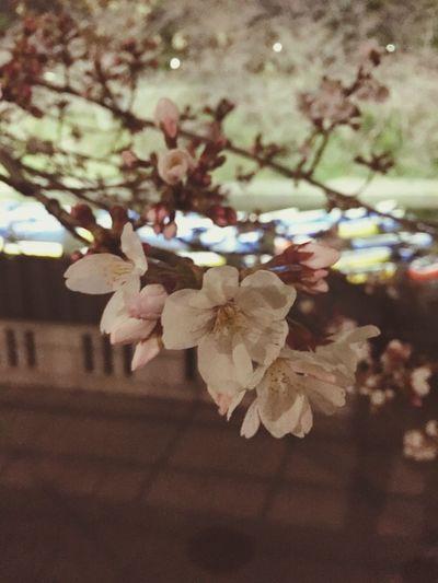 来週が見頃かも Cherry Blossoms 桜 千鳥ヶ淵