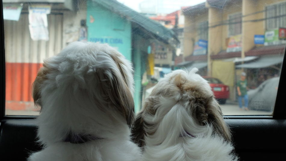 Are We There Yet? Are We Home Yet? - Shih Tzus looking out of a car window. Are We There Yet?  City Curious Dog Focus On Foreground Looking Out Of The Window Pets Shih Tzu Travel Window