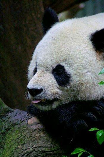 San Diego Zoo San Diego Ca Panda PANDA ♡♡ Pandashots Animals Animal Photography Zoo Animals  Capture The Moment Animal Animalphotography Animal Portrait Mammal Mammals Panda Bear Pandas♥ Panda Natures Diversities