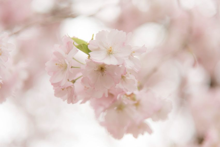 Cherry blossom tree EyeEm Selects Flower Flowering Plant Fragility Plant Beauty In Nature Vulnerability  Freshness Springtime Blossom Growth Tree Cherry Blossom Pink Color Close-up Branch Petal Nature Cherry Tree Day No People