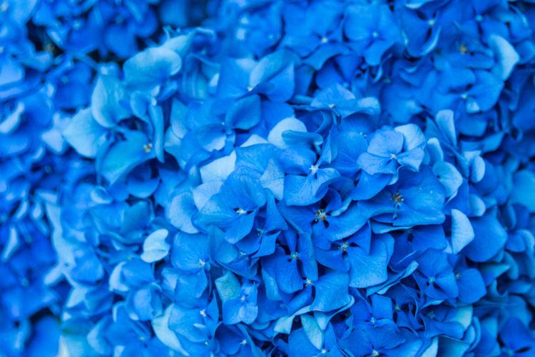 Full frame shot of blue hydrangea