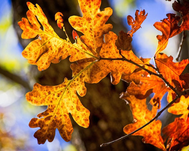Fall Leaves Autumn Plant Part Leaf Change Plant Close-up Leaves Beauty In Nature Nature No People Orange Color Focus On Foreground Maple Leaf Day Tree Outdoors Fall