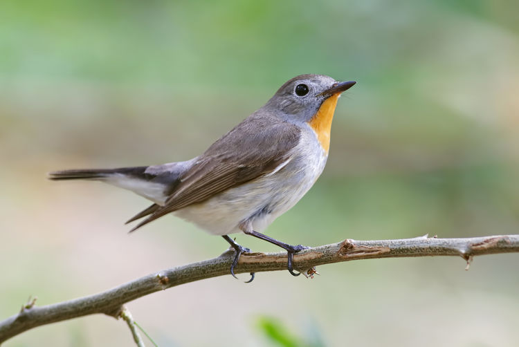Bird Animal Themes Animal Wildlife Animal Vertebrate Animals In The Wild Perching One Animal Focus On Foreground Branch Day Robin No People Close-up Tree Plant Twig Nature Outdoors Full Length