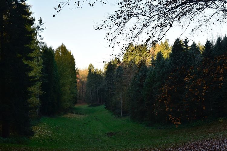Evening Light Coniferous Tree Arboretum Sonian Forest Plant Tree Sky Growth Nature Tranquility Beauty In Nature No People Green Color Land Day Tranquil Scene Grass Scenics - Nature Outdoors Field Clear Sky Landscape Non-urban Scene Autumn