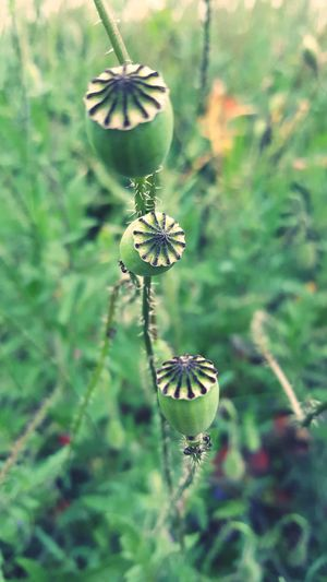 Poppy Poppy Flowers PoppySeed Beauty In Nature Day Nature Growth Focus On Foreground Art Photo Art Photgraphy Art Is Everywhere Things Around Me Card Design Outdoor Photography Personal Perspective On Tour Close-up Focus On Fragility Plant Green Color Textured  No People Outdoors Plant