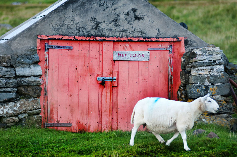 Sheep moves to graze past a boat shed at Staffin, Osle of Skye Animal Themes Boat Shed Coast Highlands Livestock No People Rural Scene Scotland Shed Sheep Skye
