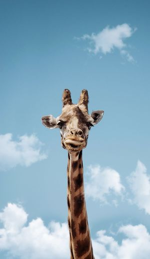 Sky Cloud - Sky Looking At Camera One Animal Animal Portrait Animal Themes Mammal No People Nature Day Blue Giraffe Animal Body Part Animal Wildlife Low Angle View Animals In The Wild Animal Head  Outdoors Domestic Animals EyeEmNewHere