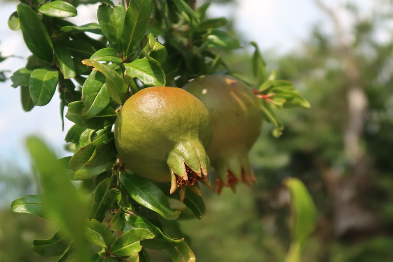 Pomegranate tree Agriculture Branch Close Up Close-up Food Food And Drink Fresh Freshness Fruit Garden Green Color Growth Nature Organic Plant Plant Part Pomegranate Pomegranate Fruit Pomegranate Tree Summer Tree Tropical Tropical Fruit Twig Vitamin