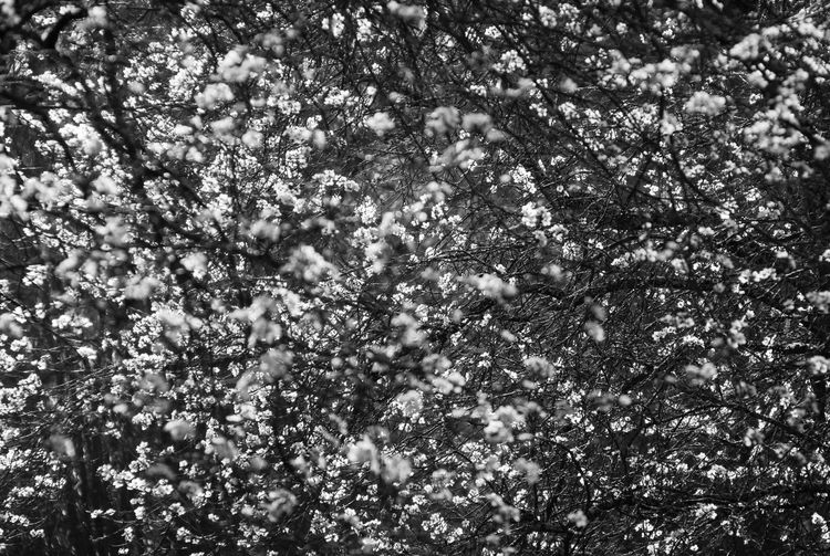 Tree Day Beauty In Nature Close-up Sunlight Flowering Plant Outdoors No People Blossom Black And White
