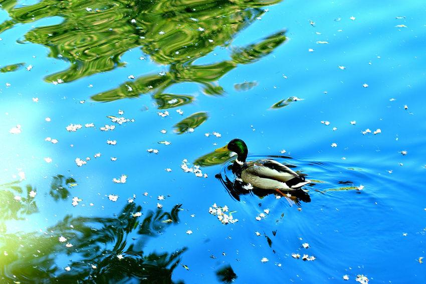 Animal Themes Animal Wildlife Bird Blue Day Nature No People One Animal Swimming Water
