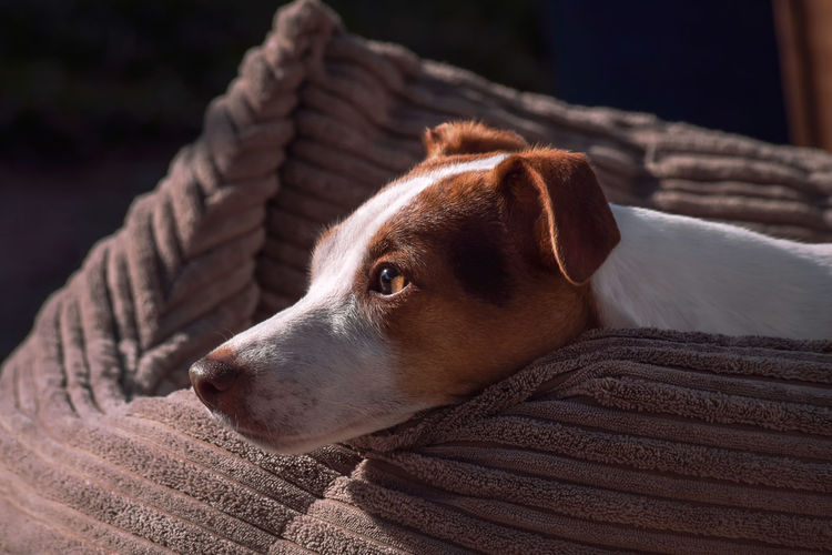 Close-up of a jack russell terrier looking away