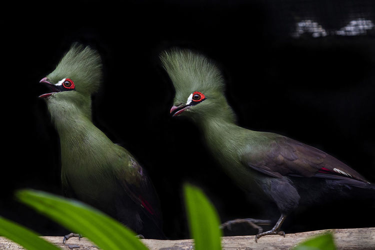 Turaco bird one of beautiful birds from Africa, always be above the trees, agile bird. African Birds Animal Themes Beautiful Birds Beauty Beauty In Nature Bird Birds_collection Black Background Day Green Nature Night No People Outdoors Songbird  Togetherness Turaco Turaco Bird