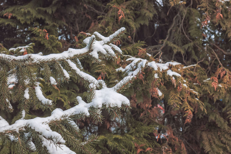 Cold Temperature Snow Winter Tree Plant Day Nature Beauty In Nature No People Branch Frozen Tranquility Covering Close-up Growth Focus On Foreground Land White Color Forest Outdoors Pine Tree Coniferous Tree Fir Tree
