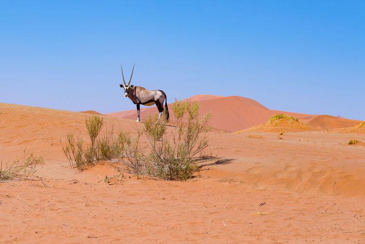 Gemsbok standing on sand against clear sky