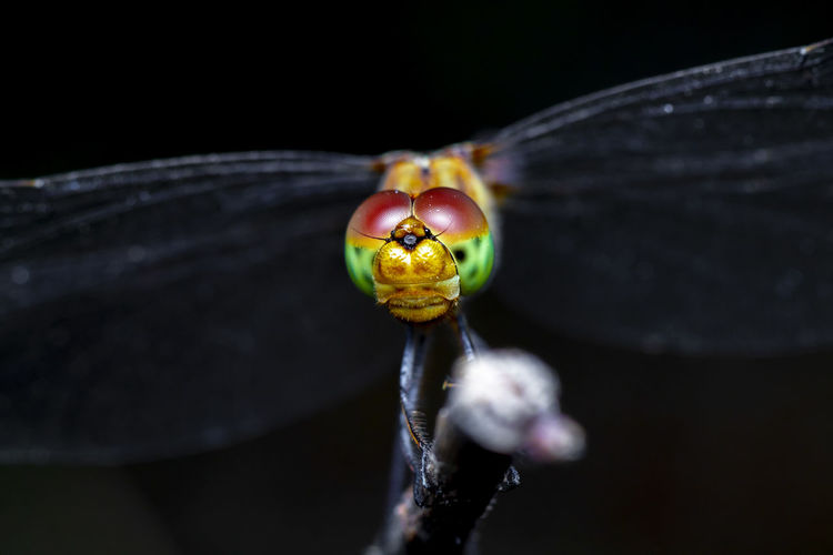 Close-up of an insect over black background