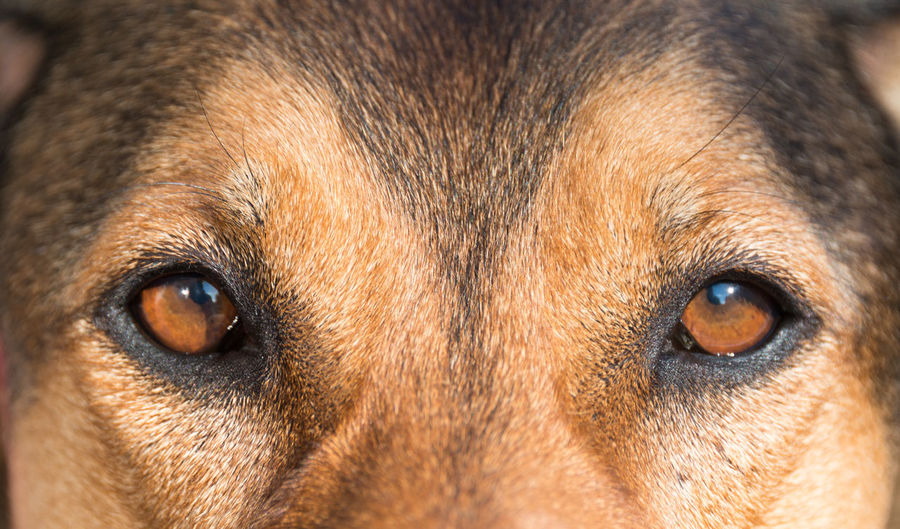 head-shot portrait of a beautiful brown bracke dog with orange-brown eyes and very friendly nature Animal Face Animal Head  Animal Photography Animal Themes Beauty In Nature Bracke Brown Brown Eyes Close-up Day Dog Dogs Of EyeEm Dogslife Domestic Animals EyeEm Best Shots EyeEm Nature Lover Faces Of EyeEm Mammal Mixture  Mongrel No People One Animal Pets Portrait Symmetry