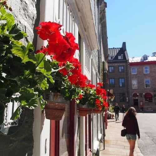 @lauren_e_venables walking around in Queen old town ----------------------------------------------------------------- Quebec Quebeccity Guebecoldtown Canada Explorecananda Oldtown Red Flowerstagram Flowers Flower Old Travelling Travel Instatravel Instapic Instagram Takemeback Bluesky Architecture Olympus